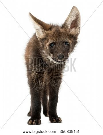 Front view of a Maned Wolf facing, looking at the camera, Chrysocyon brachyurus, isolated on white