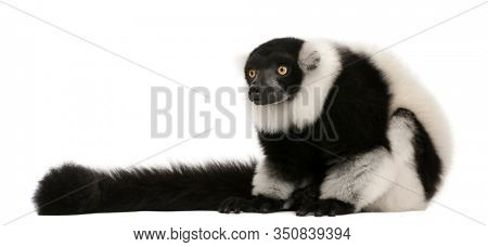Black-and-white ruffed lemur, Varecia variegata, 24 years old, sitting in front of white background