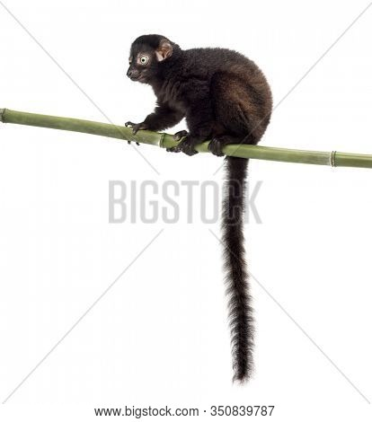 Young Blue-eyed black lemur perched on a bamboo stcik, 3,5 months old, isolated on white