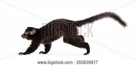 Young Blue-eyed black lemur running, 3,5 months old, isolated on white