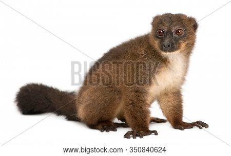 Red-bellied Lemu, Eulemur rubriventer, 21 years old, sitting in front of white background