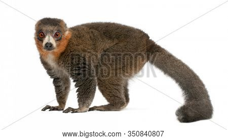 Male mongoose lemur, Eulemur mongoz, 26 years old, in front of white background