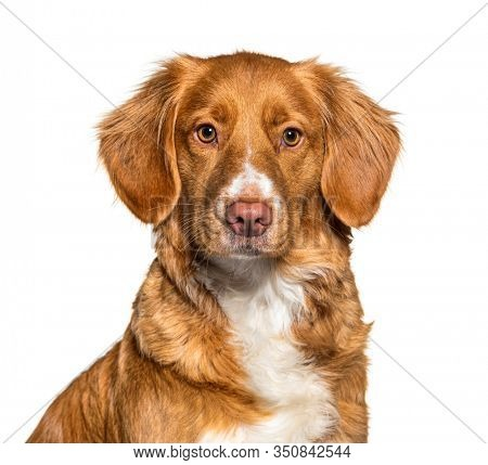 Headshot of a Nova Scotia Duck Tolling Retriever dog, isolated on white