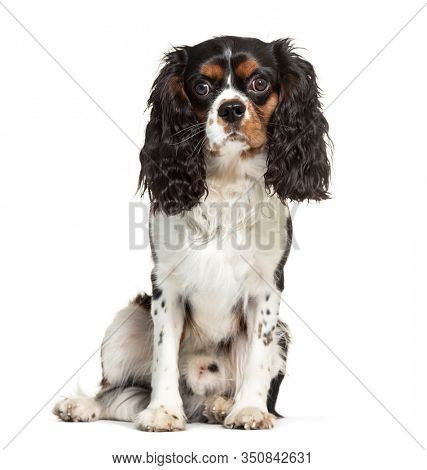 Cavalier King Charles, isolated on white