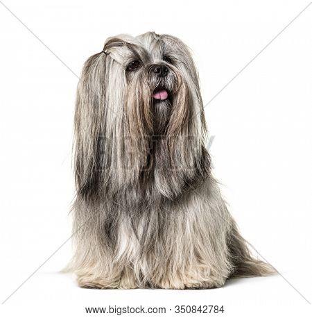 Groomed Sitting Lhasa apso dog, isolated on white
