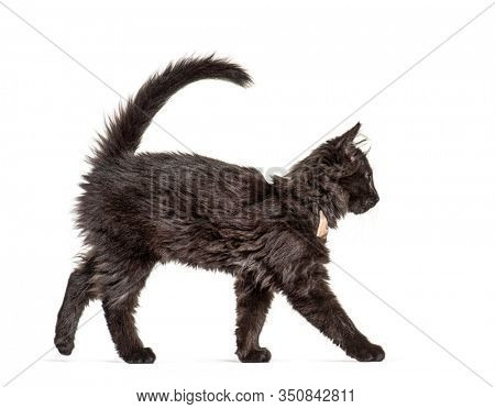 Side view Black Kitten Crossbreed cat wlking,  wearing a bow tie, isolated on white