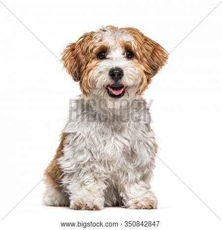 Sitting Puppy Havanese dog panting, 5 months old, isolated on white