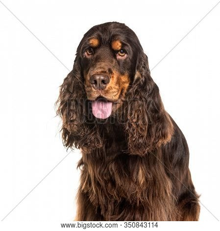Close-up on a breown panting English Cocker Spaniel, isolated on white