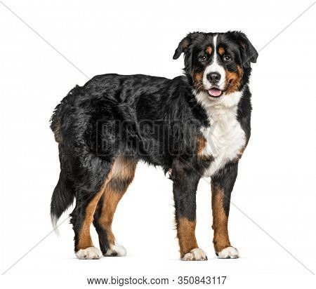 Standing Bernese Mountain Dog, isolated on white