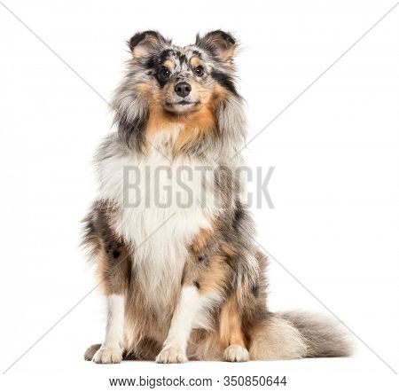 Proud Shetland Sheepdog, dog, isolated on white (2 years old)