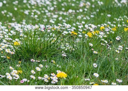 Dandelion And Daisies In The Grass. Green Nature Background. Lawn Care Concept