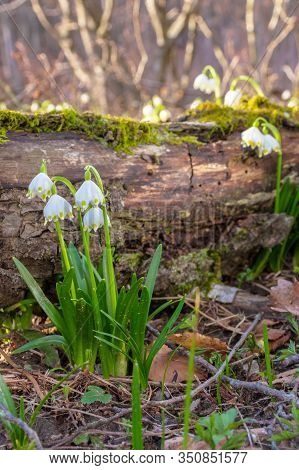 Snowflake Bloom In The Forest. Spring Scenery With First Flowers. Sunny Weather. Moss Covered Fallen