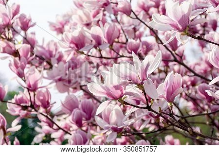 Pink Blossom Of Magnolia Tree. Big Flowering On The Twigs In Sunlight. Spring Season In The Garden.