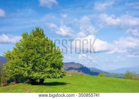 Beech Tree On The Grassy Meadow In Springtime. Wonderful Mountainous Scenery On A Sunny But Windy Da