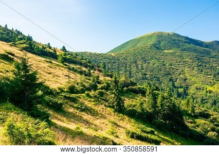 Mountain Scenery In The Morning. Coniferous Trees On Forested Hillside With Grassy Slopes. Sunny Wea