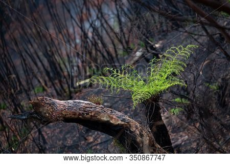A Tree Fern Flourishes After Bush Fires In Australia.  Burnt Trees Sprout New Growth And Small Grass