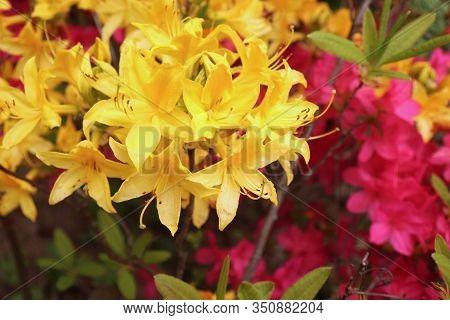 Big Azalea Or Rhododendron In A Organic Garden. Season Of Flowering Azaleas . Azaleas Are Shade Tole