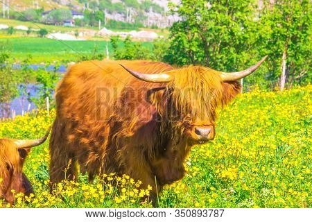 Closeup Of Adult Specimen Of A Highland Red Cow Originally From Scotland Highlands, Sitting In A Flo