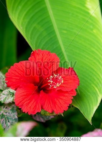 Red Hibiscus Flower Shot In Natural Scene