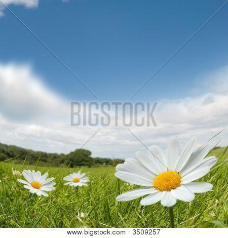 Camomile Summer Landscape