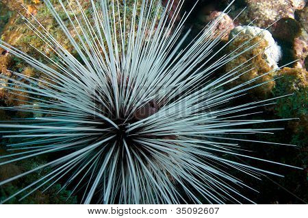 Spiny Urchin