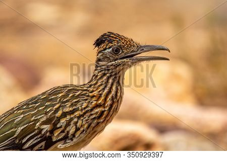 A Beautiful Closeup Photo Of A Greater Roadrunner As It Forages In An Arizona Desert.