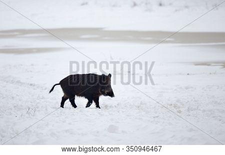 Wild Boar (sus Scrofa Ferus) Walking On Snow In Forest. Wildlife In Natural Habitat
