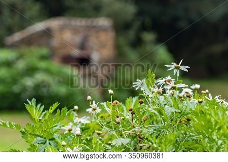 Blooming Canary Daisy Bush In A Meadow Surrounded By Relict Forest. Huge Stone Barbecue Stove On A B