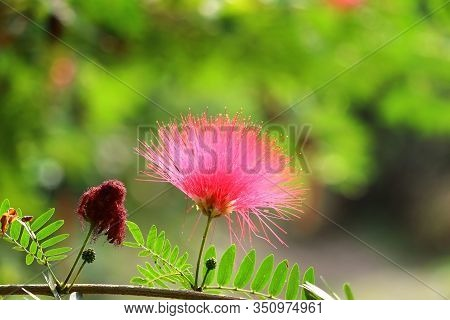 Close Up Of Red Flower Blooming Full In The Spring, Spring Background , Micro Shot Of Spring Flowers