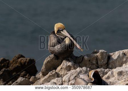 California Brown Pelican (pelecanus Occidentalis), Standing On Rock Near Malibu, California. Looking