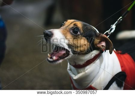 Small Dog Barking On The Street. Small Dog Barking. Close Up Of Small Cute Dog. Small Pet Dog Animal