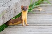 Long Tailed Weasel staring at you while coming out from space in boards poster