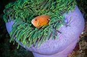 Maldivian clown looks out from his house - sea anemone Maldives poster