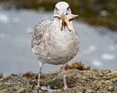 A seagull tries to eat a starfish that is too big for its mouth (selective focus) poster