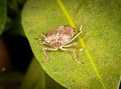 Macro shot of stinkbug or shield bug on the leaf of evergreen poster