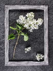 Beautiful Lilac Flower On Gray Concrete Background In Photo Frame. Lilac Flowers On Gray Background.
