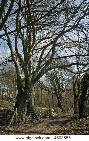 Pollarded Beech Trees