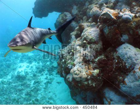 Coralcropshark