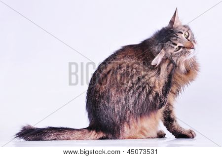 Beautiful Gray Pregnant Cat Scratching Her Ear