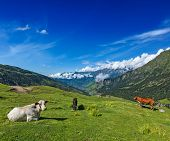 Serene peaceful landscape background - cows grazing on alpine meadow in Himalayas mountains. Himachal Pradesh, India poster