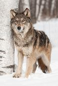 Grey Wolf (Canis lupus) Next to Birch Looks Up - captive animal poster