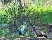 Peacock courting ritual, peahen looks at male poster