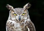 Portrait of Great Horned Owl (Bubo virginianus) aka Tiger Owl on dark background poster