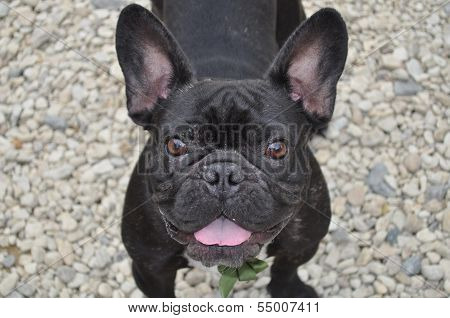 Smiling French Bulldog