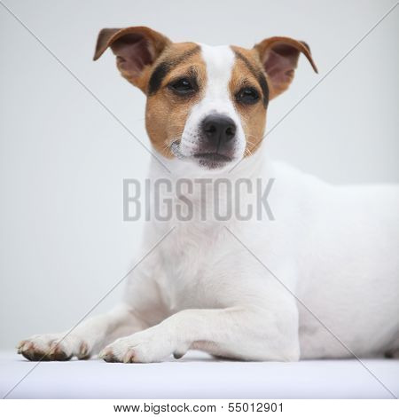 Jack Russell Terierlying
