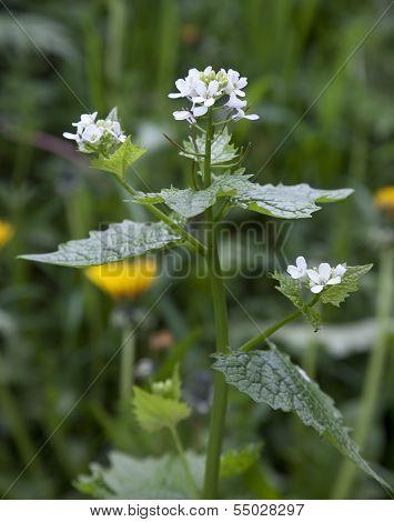 Hedge Garlic, Alliaria Petiolata