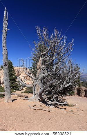 Old bristlecone pine in Bryce Canyon