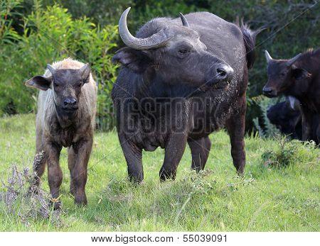 Buffalo Cow And Calf