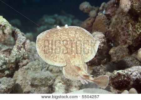 poster of torpedo ray taken in th red sea.