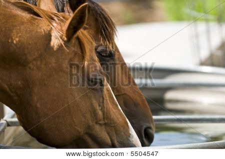 Horses Drinking From A Troph